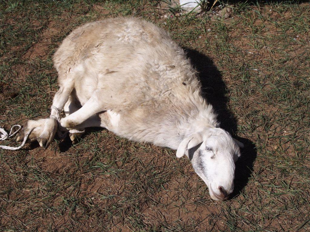 モンゴル国際草原マラソンの商品の羊